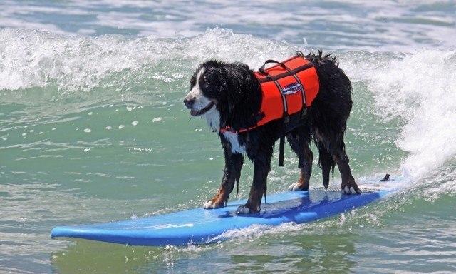 dog-surfing