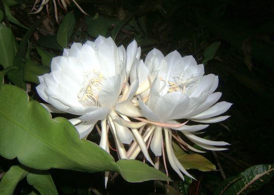 expensive kadupul flower